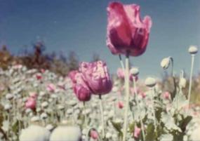 opium_poppy_field_-_mexico