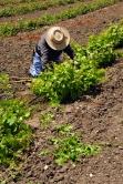 Migrant California vineyard