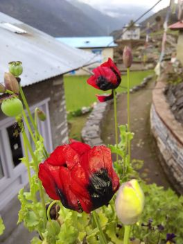 Opium_poppy_seed_and_flower_at_Budhha_lodge_of_Chaurikharka,Nepal