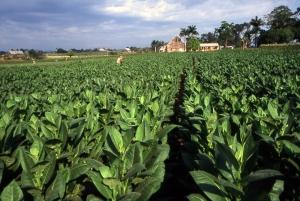 Tobacco_field_cuba1.jpg