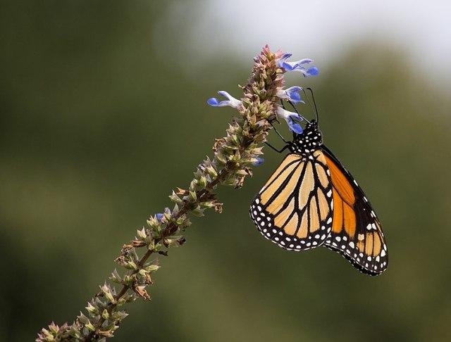 788px-Monarch_butterfly_(70387)